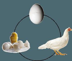 kreislauf-ei-huhn